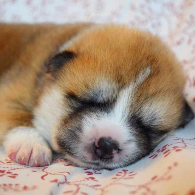 Goodnight copiesnato akita akitaru akitaclub akitainu puppy puppylove sweet cutehellip