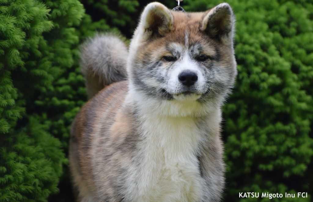 Katsu (1)1