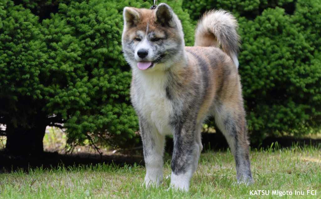 Katsu (3)